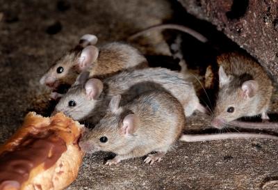 mice control Melbourne