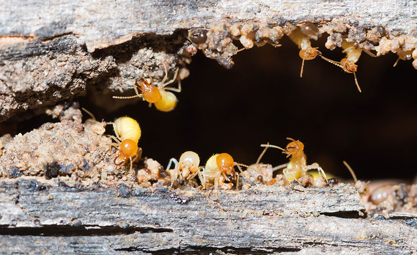 Termite Treatment and Control Melbourne