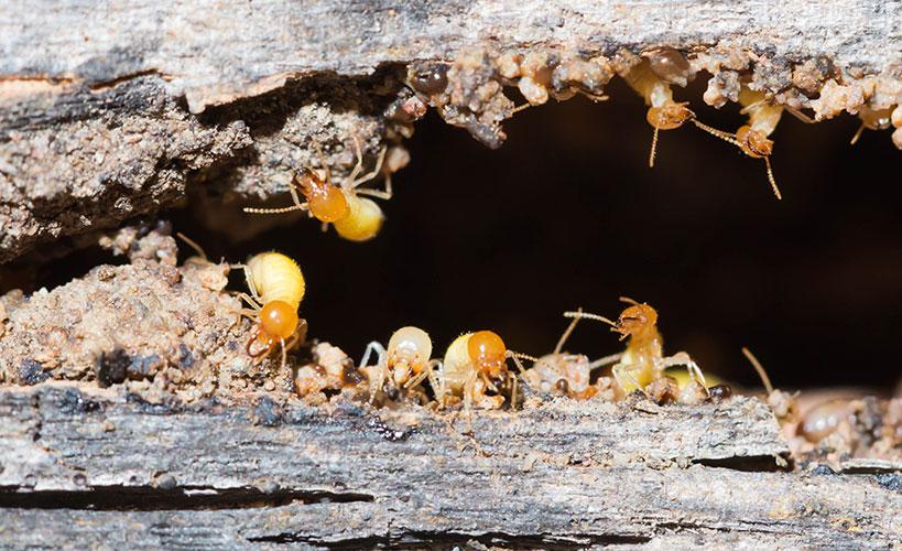 Termite Treatment and Control Melbourne