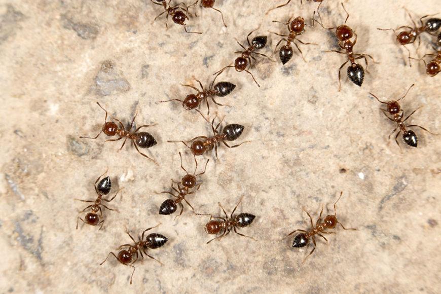 pestline ants
