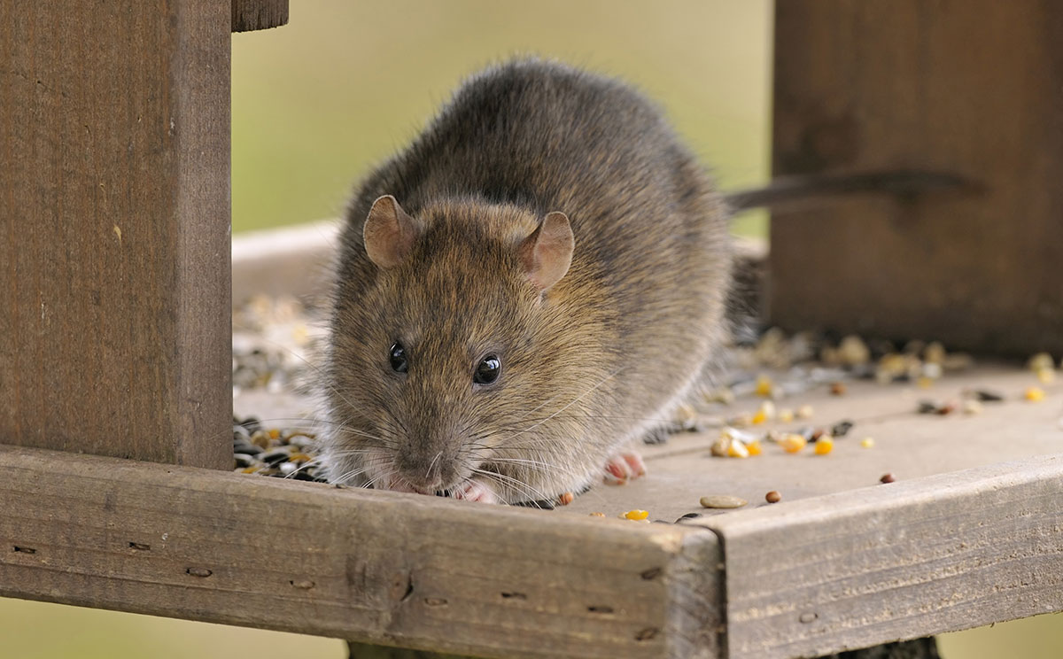 how to get rid of mice and rats in the home and garden pestline